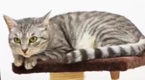 日本猫:サバトラ