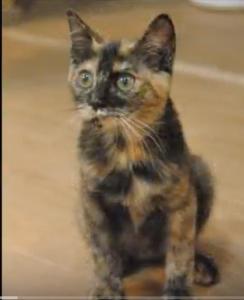 日本猫:サビ猫