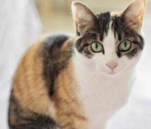 日本猫:縞三毛猫