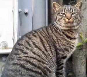 日本猫キジトラ