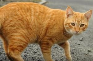 日本猫:赤トラ